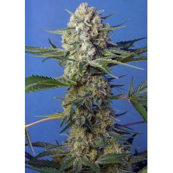 Sweet Seeds Crystal Candy F1 Fast Version - Imagen 1