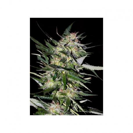 Advanced Seeds Feminized Collection Nº4 - Imagen 1
