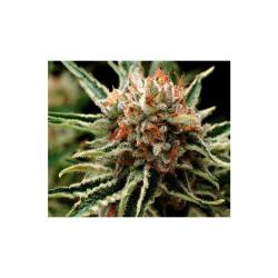 Pyramid Seeds Auto Fresh Candy - Imagen 1
