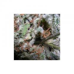 Paradise Seeds Champions Pack Indica Fem - Imagen 1