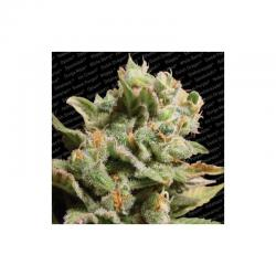Paradise Seeds Dutch Dragon Fem. - Imagen 1
