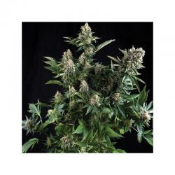 Sensi White Label White Widow Fem. - Imagen 1