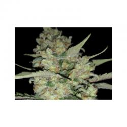 Exclusive Seeds Critical Exclusive 10Und Reg - Imagen 1