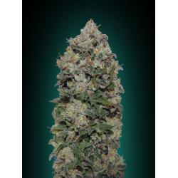 00 Seeds Northern Lights Fem - Imagen 1